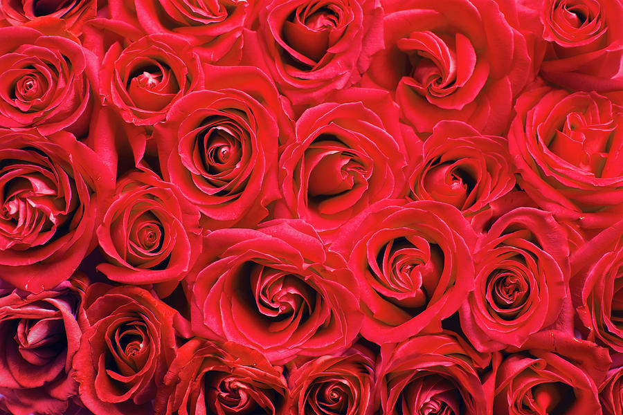 Red roses by Top Wallpapers