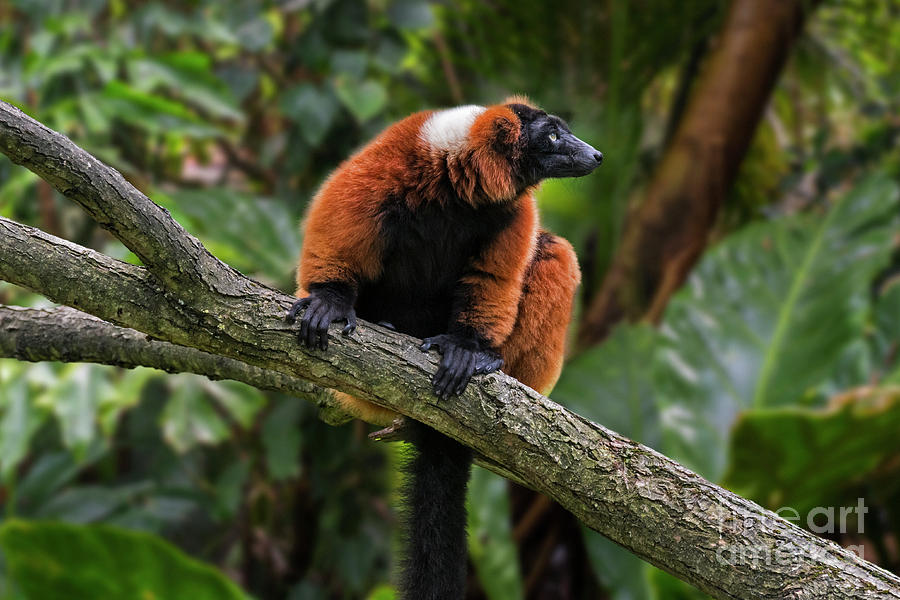 Red Ruffed Lemur by Arterra Picture Library
