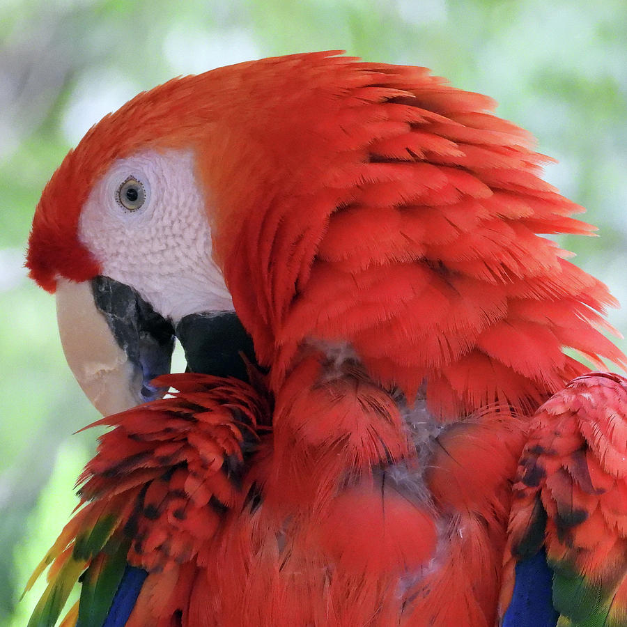 Red Scarlet Macaw Photograph