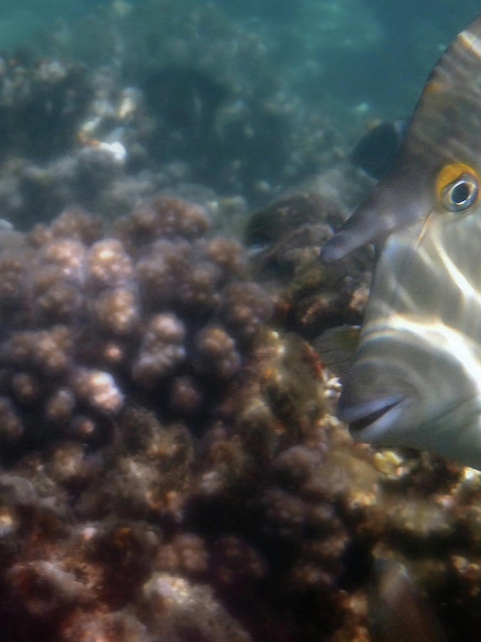 Red Sea Bluespine Unicornfish Macro Photo by Johanna Hurmerinta