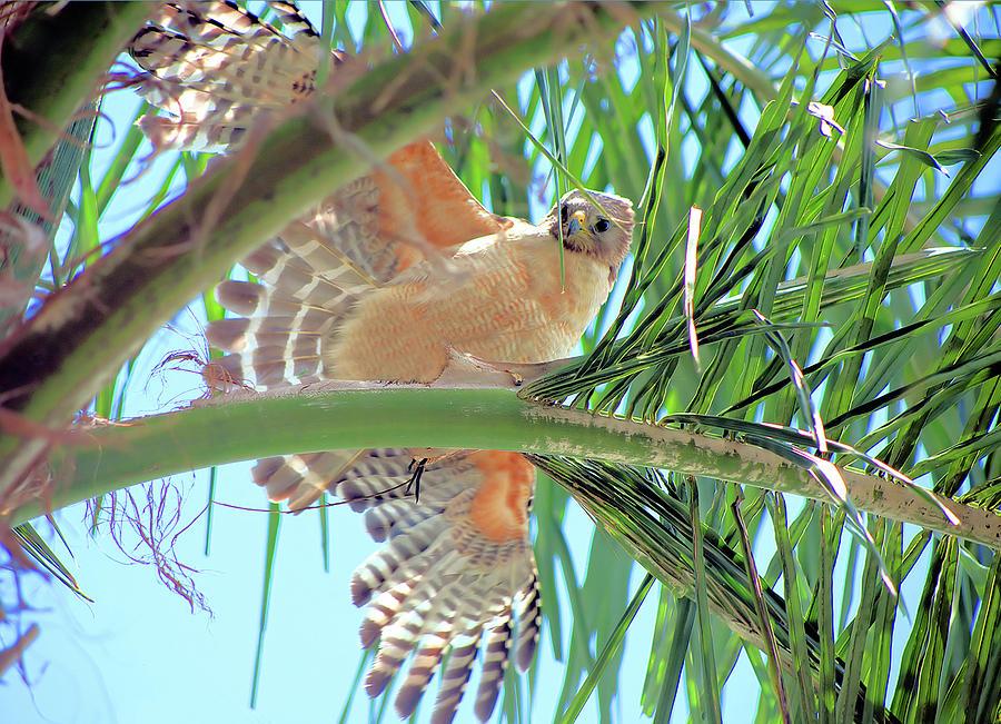 Red-Shoulder Hawk by Karl Ford