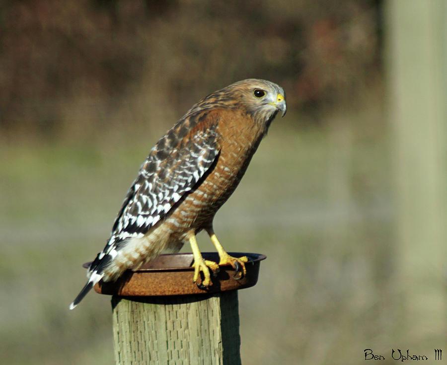 Red-Shouldered Hawk by Ben Upham III