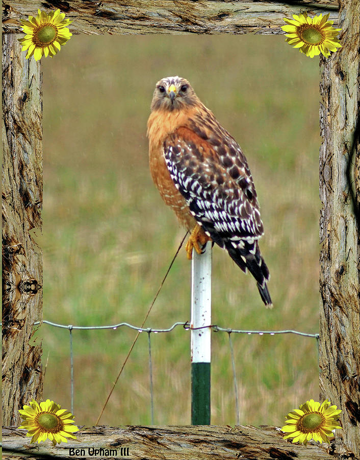 Red-Shouldered Hawk in Redwood Frame with Sunflowers by Ben Upham III