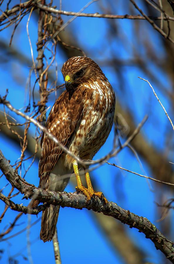 Red Shouldered Hawk by Kevin Banker