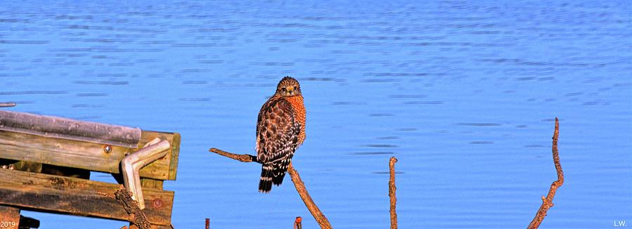 Red Shouldered Hawk On Lake Murray SC Panorama by Lisa Wooten
