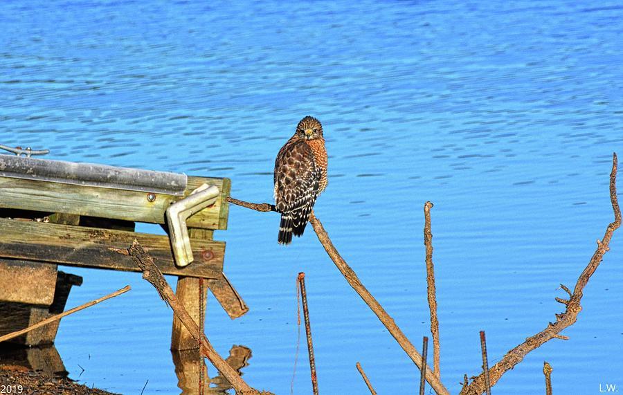 Red Shouldered Hawk On Lake Murray South Carolina by Lisa Wooten