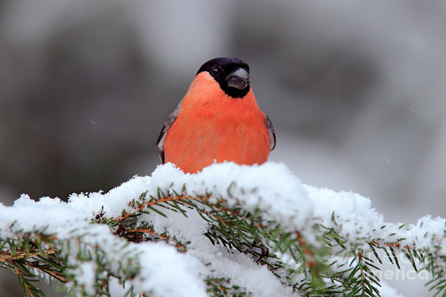 Small Photograph - Red Songbird Bullfinch Sitting On Snowy by Ondrej Prosicky