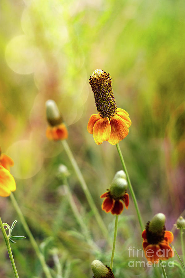 Red Spike Mexican Hat by Susan Warren