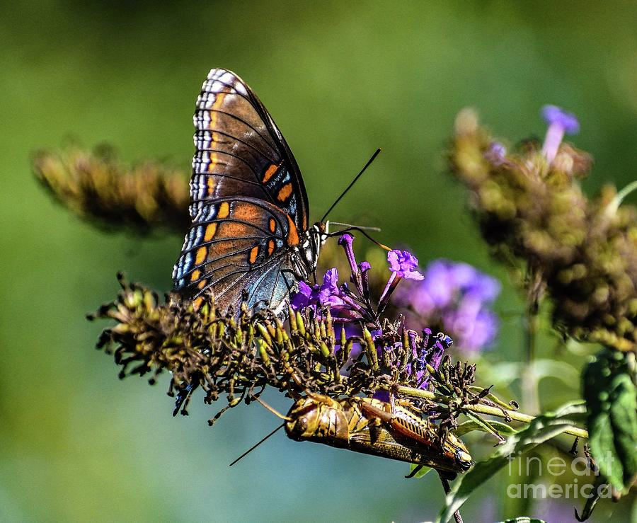 Red-spotted Purple And The Grasshopper by Cindy Treger