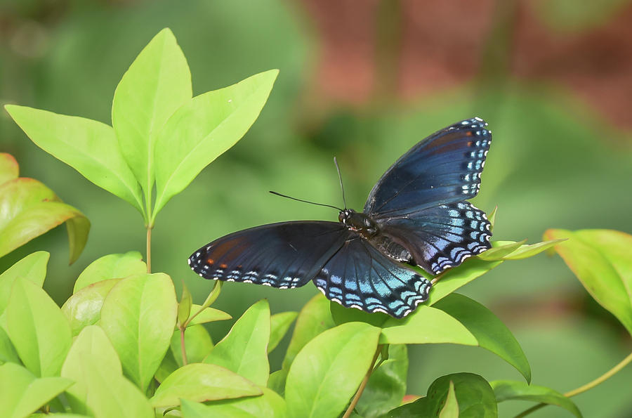 Red Spotted Purple Butterfly by Serena Vachon