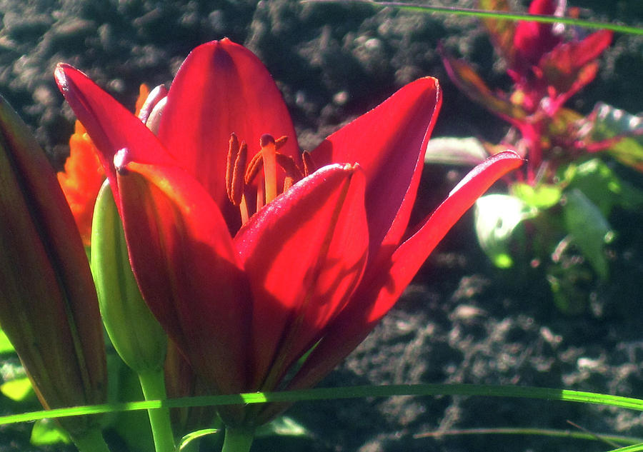 Red Spring Flower by Jaeda DeWalt