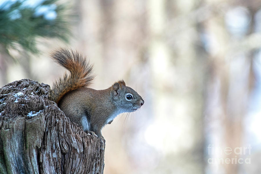 Red Squirrel by Alan Schroeder