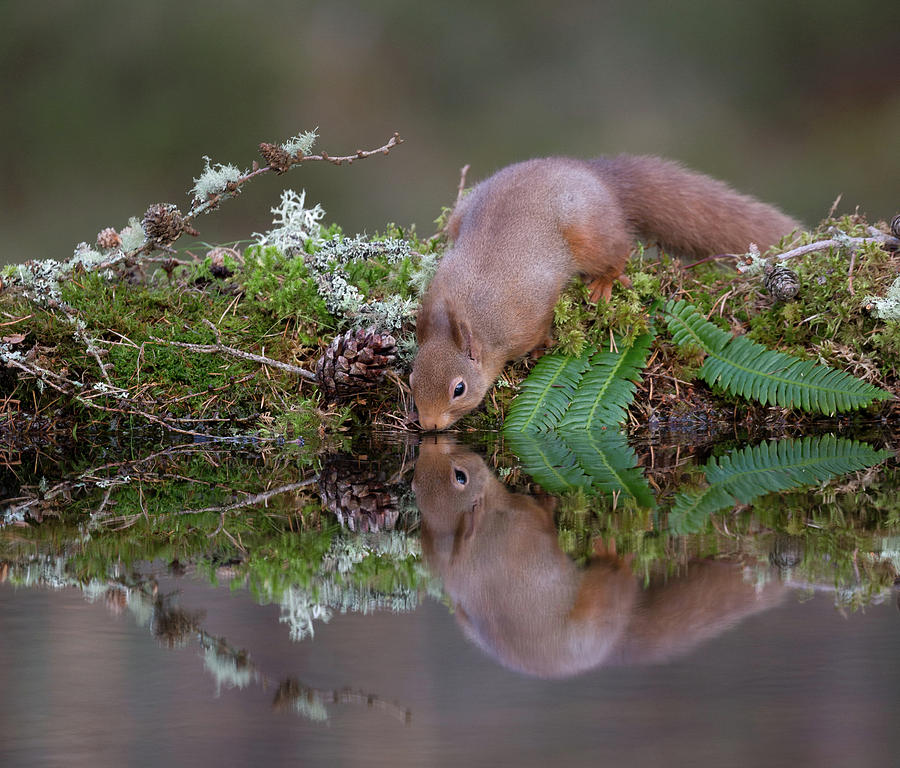 Red Squirrel Drinks From A Woodland Pool by Peter Walkden