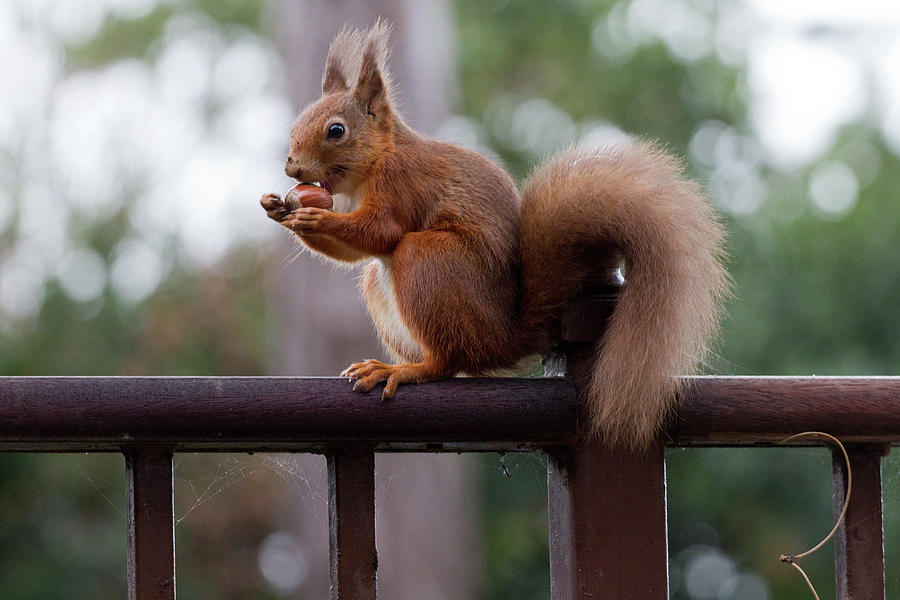 Red Squirrel Getting Ready For Winter Photograph by S0ulsurfing - Jason Swain