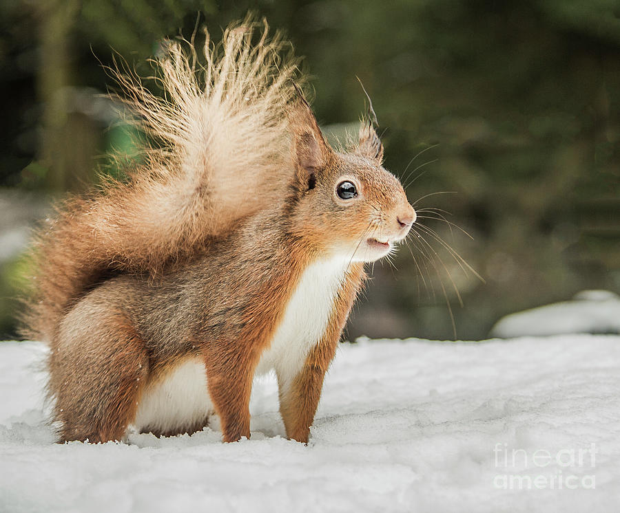 Red Squirrel In Snow by Sandra Cockayne ADPS