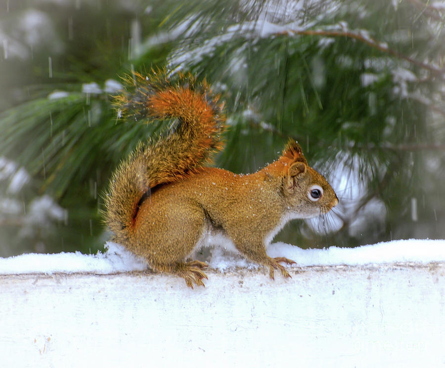 Red Squirrel in the Snow by Kerri Farley