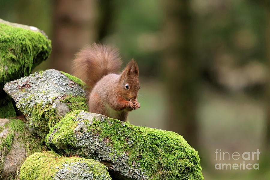 Red Squirrel Photograph - Red Squirrel Sciurus Vulgaris Eating A Seed On A Stone Wall by Louise Heusinkveld