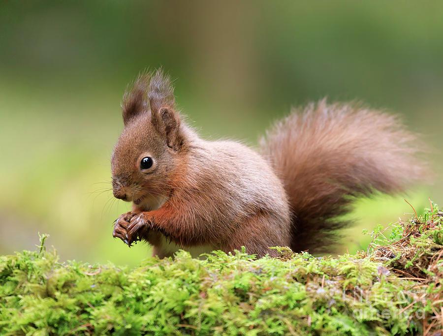 Red Squirrel Photograph - Red Squirrel Sciurus Vulgaris by Louise Heusinkveld