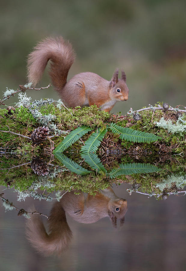Red Squirrel Visits Woodland Pool by Peter Walkden