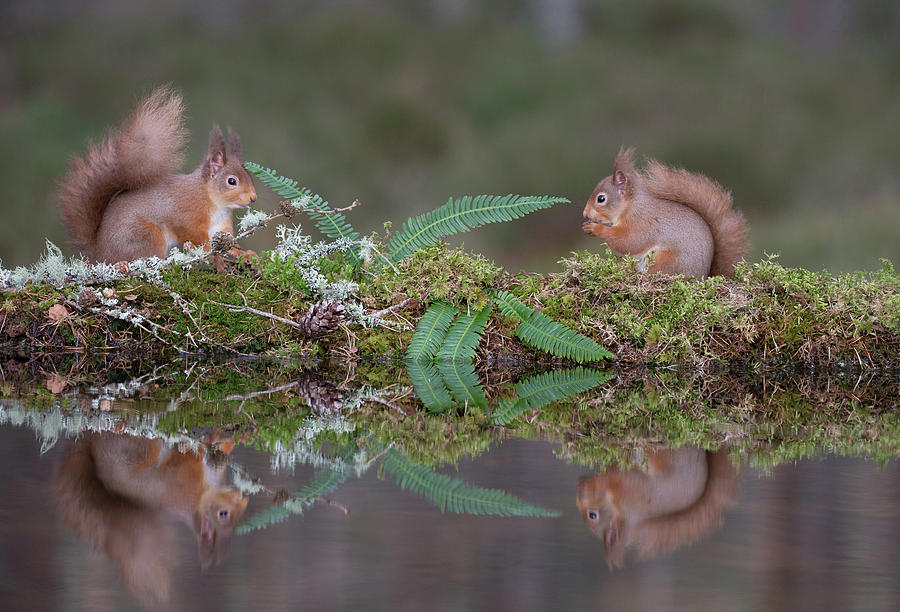 Red Squirrels At A Woodland Pool by Peter Walkden