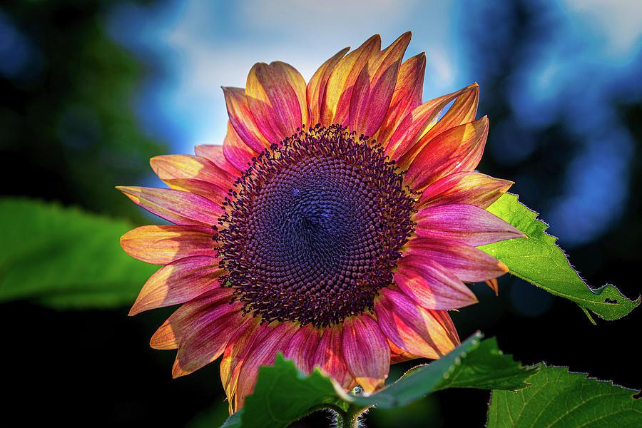 Red Sunflower #2 by Allin Sorenson