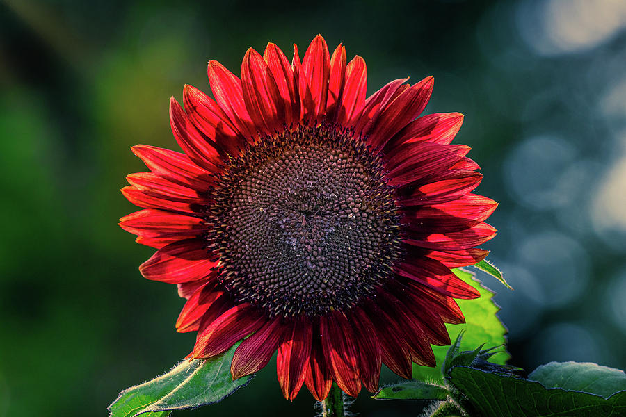 Red Sunflower by Allin Sorenson