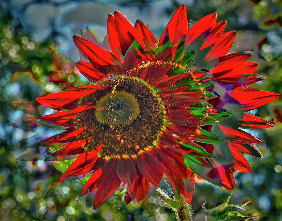 Red Sunflower by Gerald Grow