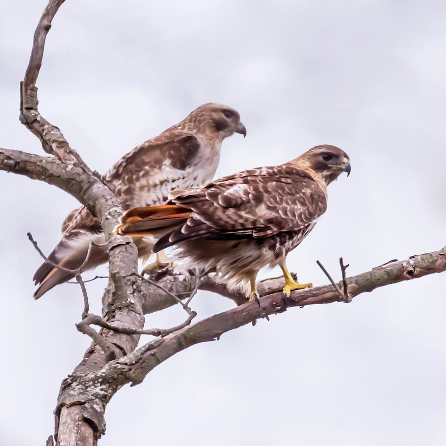 Red Tail Hawk Pair by Terry DeLuco