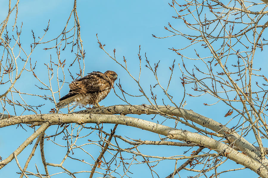 Red-Tail Perch In Spring by Yeates Photography