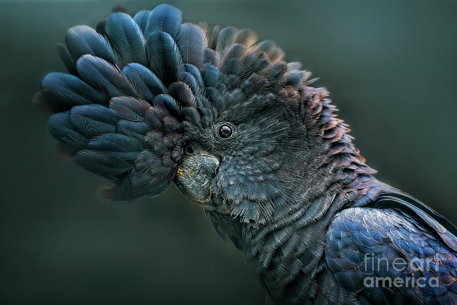 Red Tailed Black Cockatoo Photograph by Tracielouise