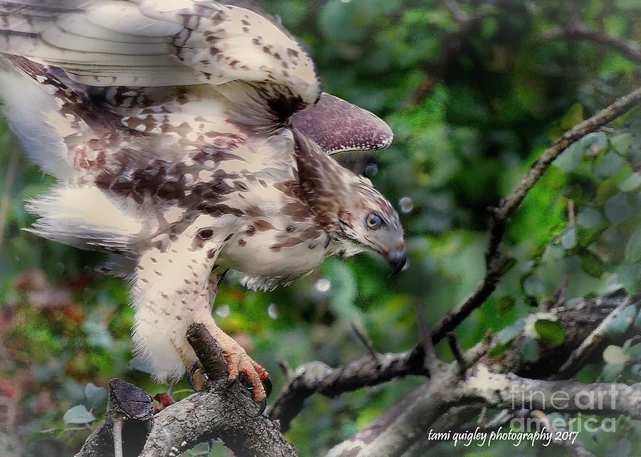 Red-Tailed Focus  by Tami Quigley