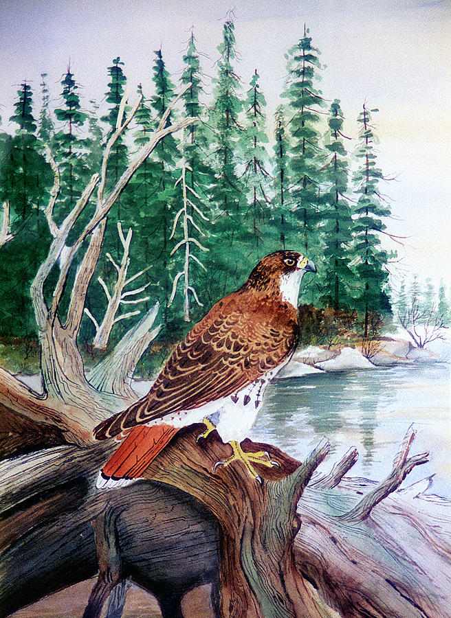 Red Tailed Hawk Painting - Red Tailed Hawk by Arie Reinhardt Taylor