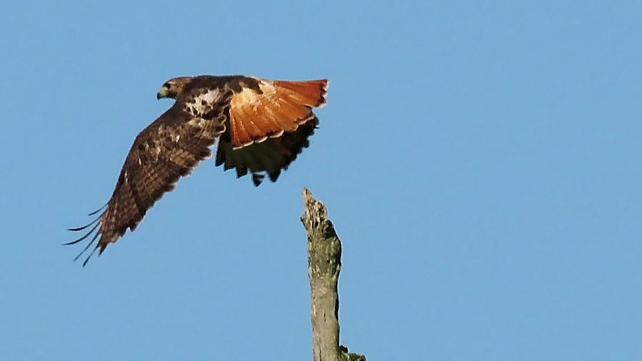 Red-Tailed Hawk by Betty Berard