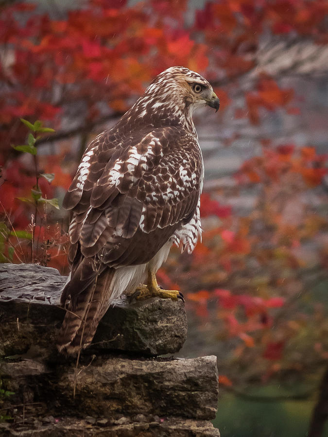 Buteo Jamaicensis Photograph - Red-Tailed Hawk by David Hook