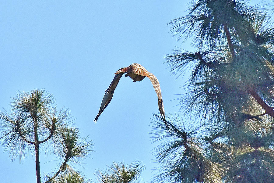 Red Tailed Hawk Leaving 1 by Linda Brody