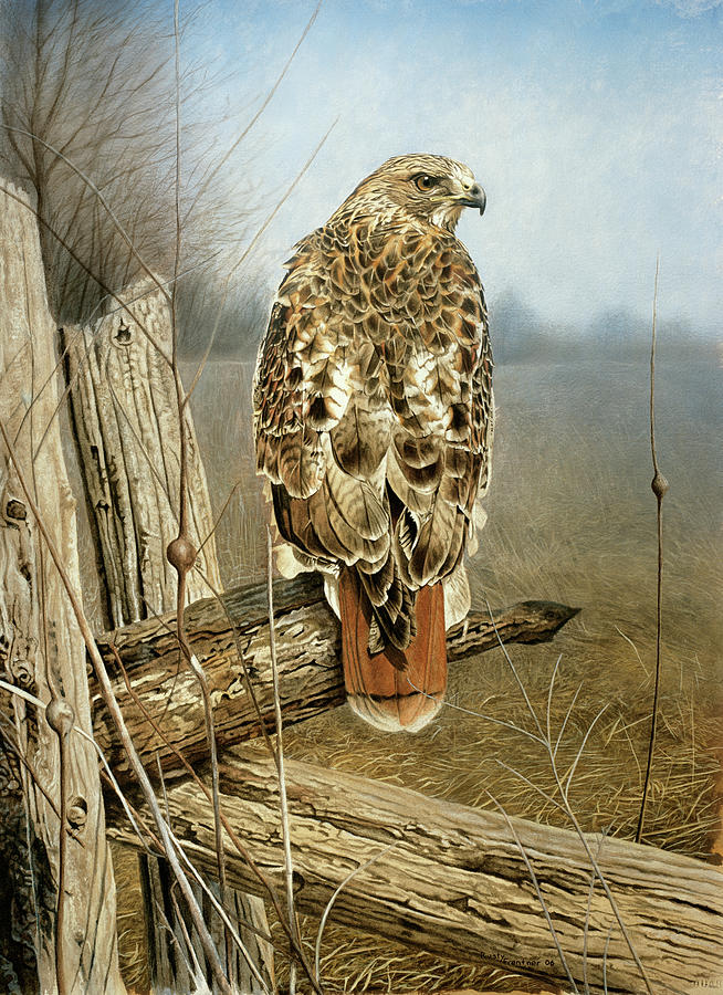 Red Tailed Hawk Painting by Rusty Frentner