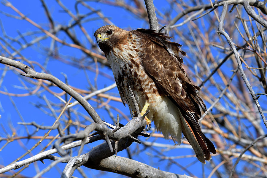 Red Tailed Hunter by Michael Morse