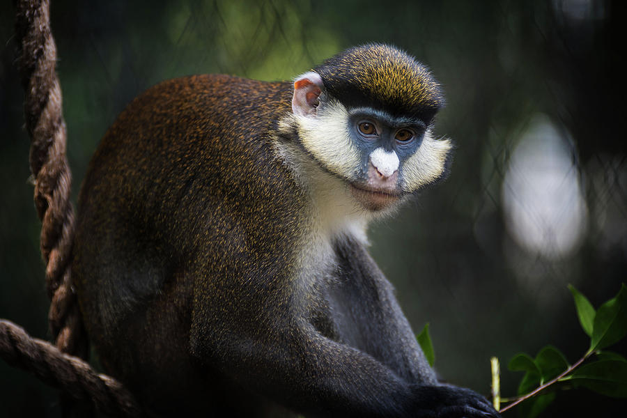 Red-Tailed Monkey by Bud Simpson