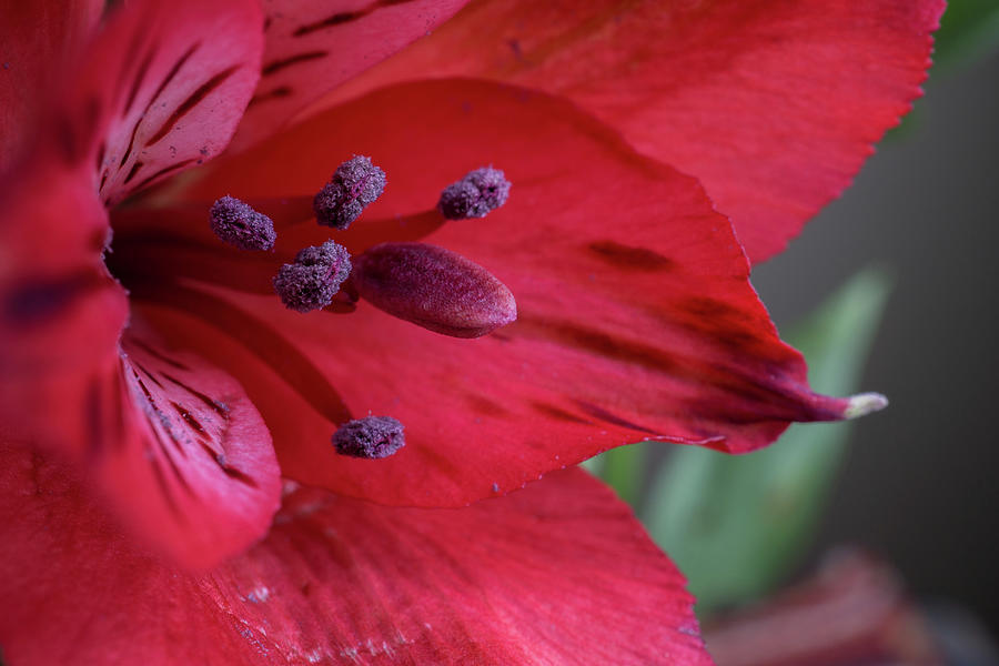 Red Tiger by Linda Howes