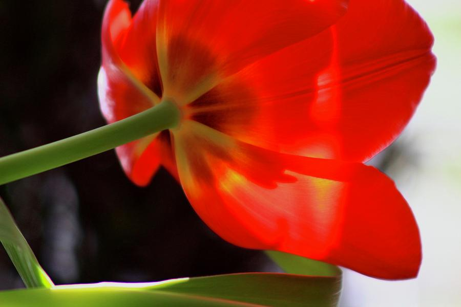 Red Tulip 3 by Kevin Wheeler