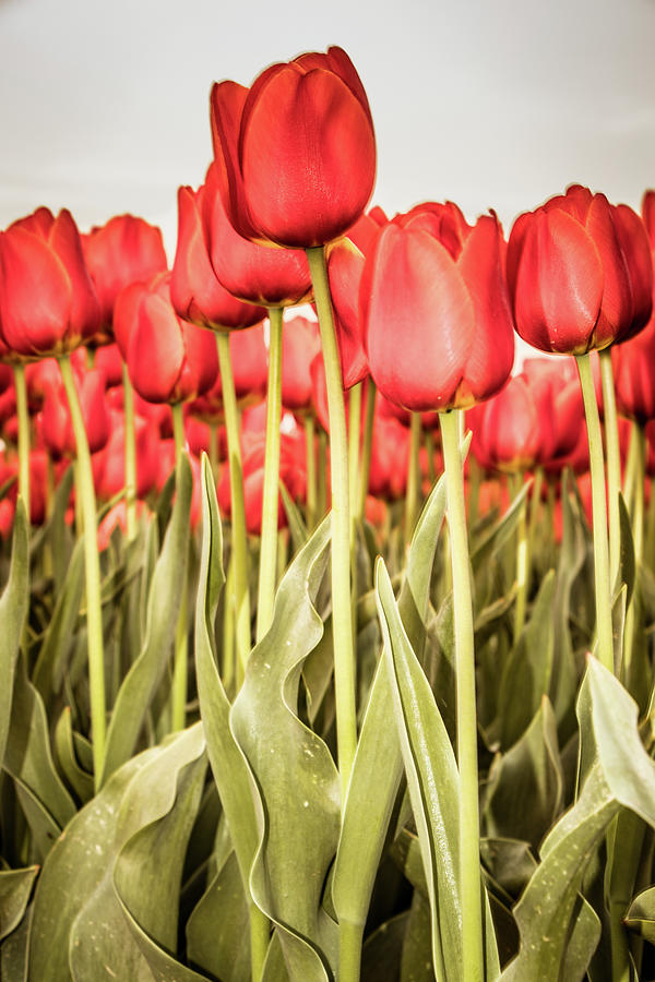 Red Photograph - Red Tulip Field In Portrait Format. by Anjo Ten Kate