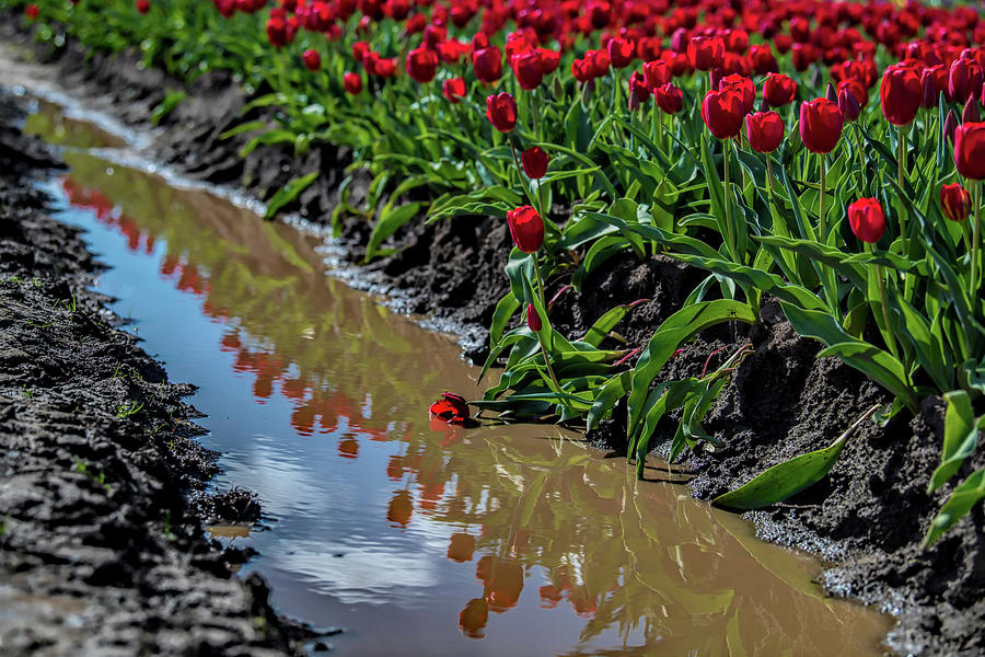 Red Tulip Reflections by Johanna Froese