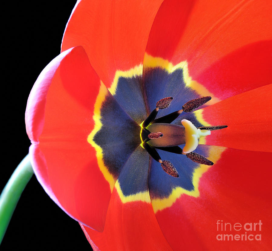 Stacked Photograph - Red Tulip Tulipa - Liliaceae by Kev Vincent Photography