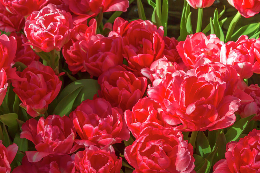 Red Tulips in Bloom 2 by Bonnie Follett