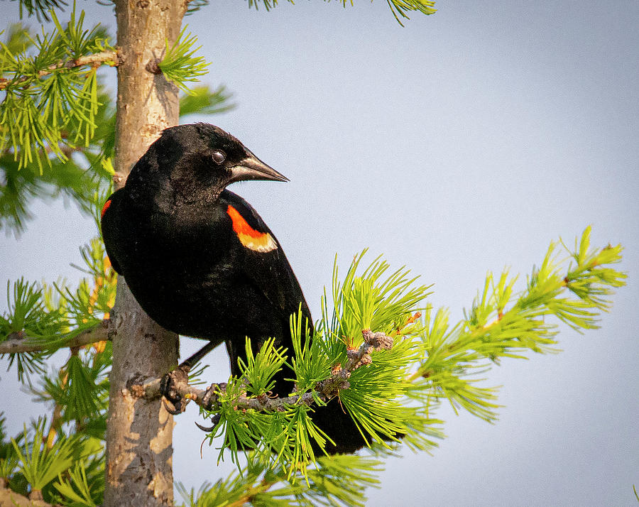 Red-winged Black Bird in a Tree by Philip Rispin