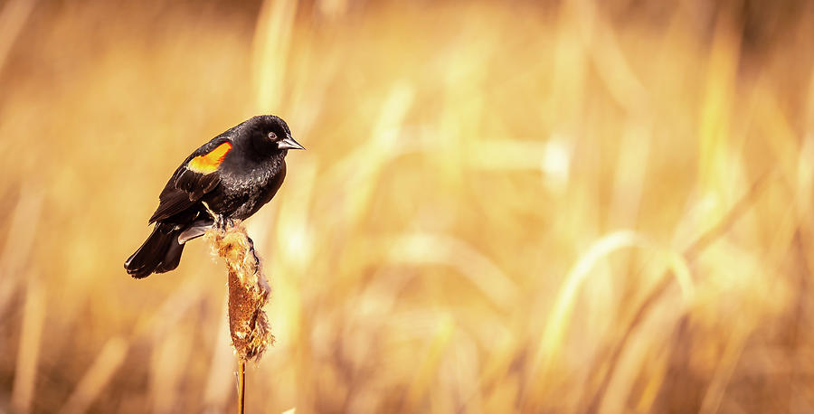 Red Winged Black Bird by Philip Rispin
