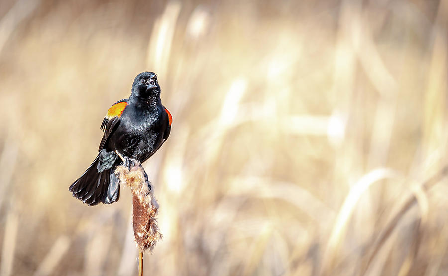 Red-Winged Black Bird Singing by Philip Rispin
