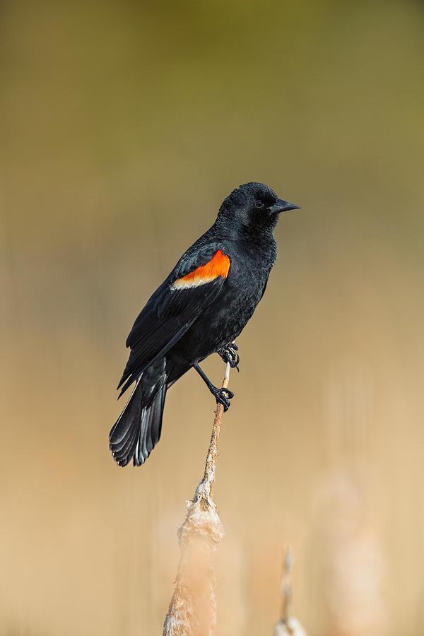 Agelaius Photograph - Red-winged Blackbird, Agelaius by James Zipp