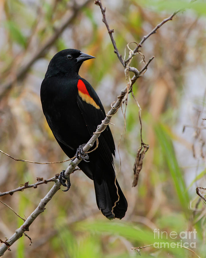 Red-Winged Blackbird by Blair Howell