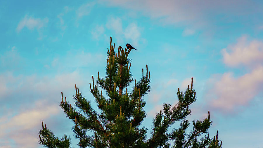 Red Winged Blackbird In A Conifer Tree by Jeanette Fellows
